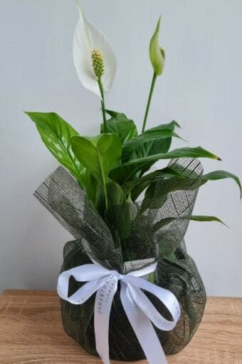 Potted Peace Lily Plant